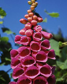 love-of-herbs-foxglove